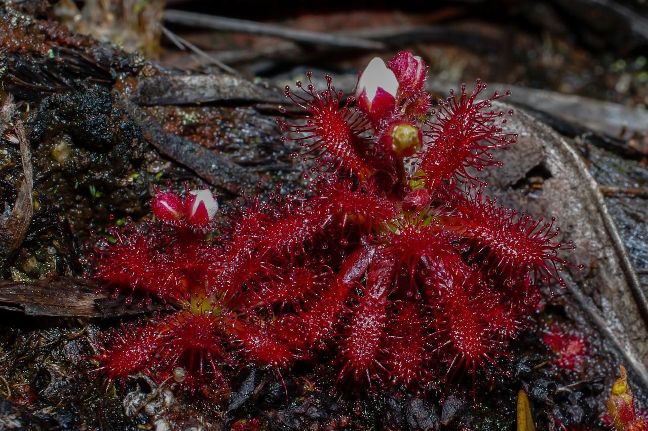 Drosera arenicola