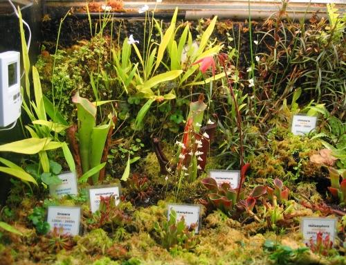 Heliamphora und Utricularia im Terrarium