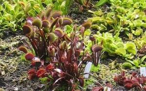 Dionaea Klappfalle
