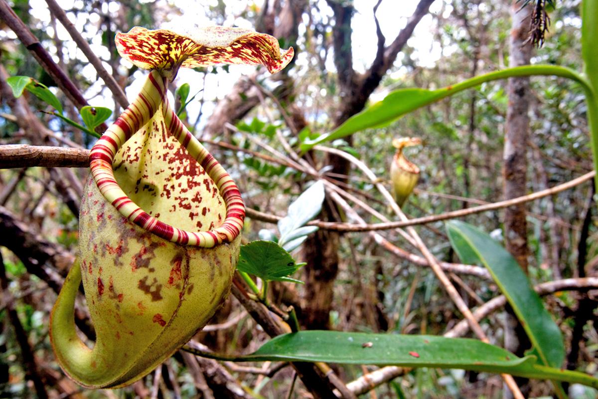 Nepenthes burgbidgeae